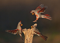 Pyrrhuloxia {Cardinalis sinuatus), males, Starr County, Rio Grande Valley, South Texas, USA