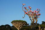 .Adenium blooming and dragon's blood tree on the Diksam plateau. Socotra. Yemen