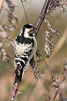 Kleinspecht, Weibchen pickt an Beifuß, Klein-Specht, Specht, Dryobates minor, Dendrocopos minor, Lesser Spotted Woodpecker, Pic épeichette