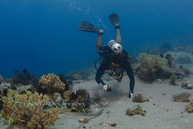 Diver with Go pro and Sea Snake, Sea krait, Laticauda, or coral reef snakes, are a subfamily of venomous elapid snakes, the Hydrophiinae