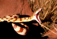A yawning Boiga Tree snake, or western brown tree snake,Central Australia