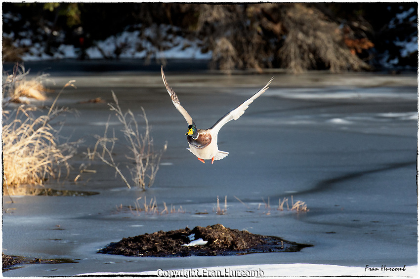 Mallard duck in spring