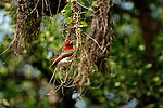 Red-headed Weaver in Africa