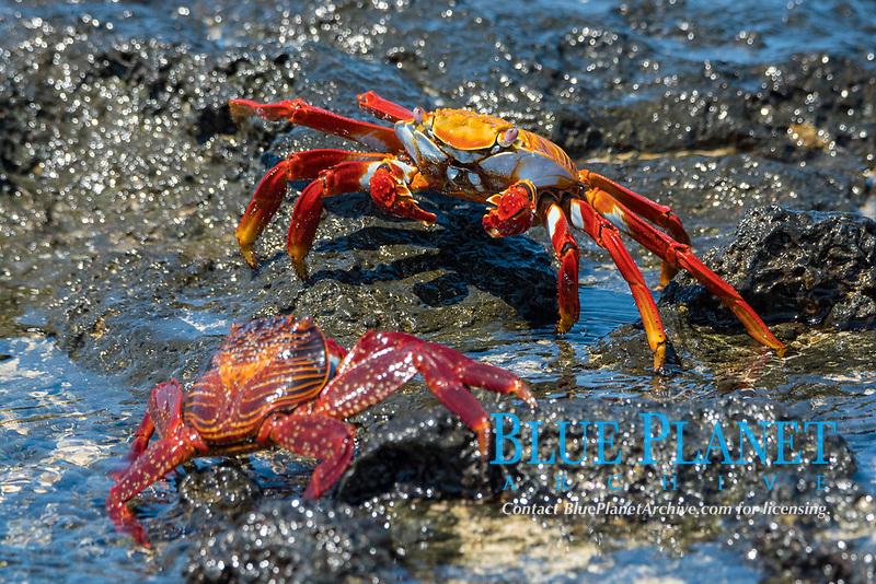 red rock crab, or Sally Lightfoot crab, Grapsus grapsus, Isla Seymour Norte, or North Seymour Island, Galapagos Islands, Ecuador