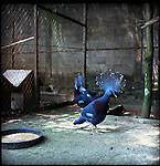 August 2000. Jakarta, Indonesia. Crown pigeons are held captive at a wealthy jakartans home. The pigeons are endangered and since Suhartos downfall the endangered animal business has proliferated because of government corruption and inability to police the industry.
