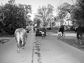 Tarnogora 12.10.2019 Poland<br /> Tarnogora, one of the last small villages in which a common pasture has been operating for over a hundred years, where the community members graze their cows in one meadow. Every day, the cows go to the pasture alone and return from it to their barns.<br /> Photo: Adam Lach<br /> <br /> Tarnogora, one of the last small villages in which a common pasture has been operating for over a hundred years, where the community members graze their cows in one meadow. Every day, the cows go to the pasture alone and return from it to their barns.<br /> Fot: Adam Lach