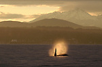 Orca whale, Puget Sound, Seattle area, Bainbridge Island, Olympic Peninsula, Olympic Mountains, Washington State, Pacific Northwest,