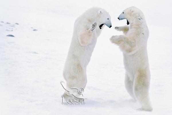 Polar bear (Ursus maritimus) males play fighting.