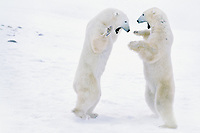 Polar bear (Ursus maritimus) males play fighting.