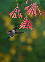Black-chinned Hummingbird (Archilochus alexandri), adult male feeding on blooming  Coral Honeysuckle (Lonicera sempervirens), Hill Country, Texas, USA