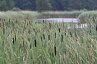 Rohrkolben, Typha spec., Bestand in einem Tümpel, Teich, See, Uferzone, Ufer, Röhrichtzone, Röhricht, Bulrush