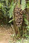 Cockscomb Basin Wildlife Sanctuary, Belize, Central America; giant grapes of nuts from the Cohune Palm Tree (Orbigyna cohune) , Copyright © Matthew Meier, matthewmeierphoto.com All Rights Reserved