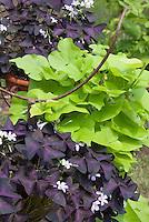 Ipomoea 'Sweet Caroline Green' with purple shamrocks Oxalis triangularis in pots