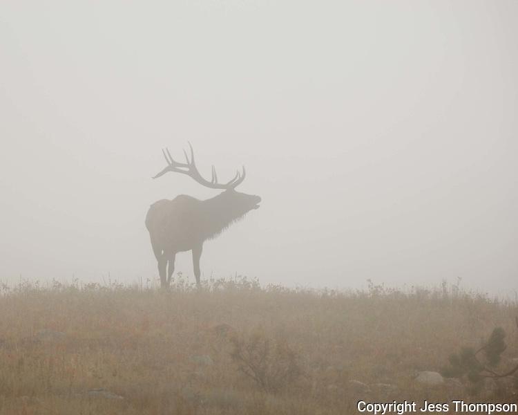 Bull Elk in the fog in Rocky Mountain National Park, Colorado