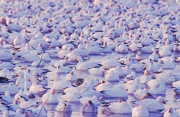 Snow Goose, Chen caerulescens, flock resting, Bosque del Apache National Wildlife Refuge , New Mexico, USA