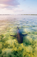 lemon shark, Negaprion brevirostris, female swimming through shallow lagoon after giving birth, Bahamas, Caribbean Sea, Atlantic Ocean