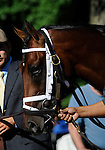 09 July 30: Interactif prior to the 95th running of the grade 2 Sanford Stakes for two year olds at Saratoga Race Track in Saratoga Springs, New York.