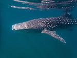 Whale shark, Mexico 2015