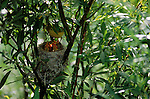 A yellow warbler perches on the edge of its nest, its chicks crying for food.