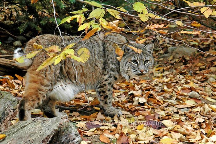 Bobcat in Autumn Foliage  #C2