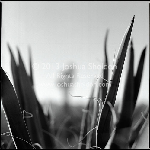View of Joshua Tree through Yucca fronds<br />
