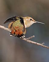 Rufous Hummingbird in Southeastern Arizona