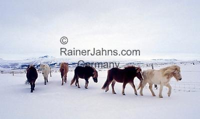 Island, kleine Herde Islandpferde im Haukadalur Tal im Sueden Islands im Winter   Iceland, Icelandic horses at Haukadalur Valley in the south of Iceland in winter