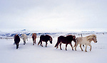 Island, kleine Herde Islandpferde im Haukadalur Tal im Sueden Islands im Winter | Iceland, Icelandic horses at Haukadalur Valley in the south of Iceland in winter