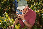 Zinfandel grape harvest at Joe Aparicio's zinfandel grape vineyard on Sutter Ridge in fall..Joe Aparicio smells for mold his zinfandel grapes