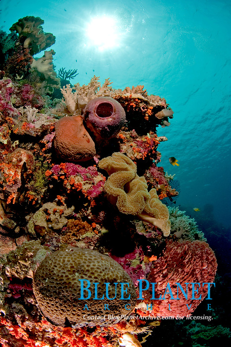 coral reef scene, Wakatobi, Indonesia, Pacific Ocean