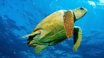 Carreta carreta, Loggerhead sea turtle, Florida Keys Caretta caretta, Loggerhead sea turtle, Florida Keys