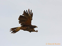 0405-1226  Harris's Hawk in Flight, Harris Hawk (Bay-winged Hawk or Dusky Hawk), Parabuteo unicinctus  © David Kuhn/Dwight Kuhn Photography