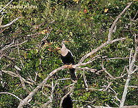 0111-0986  Immature Double-crested Cormorant Perched in Tree, Juvenile, Phalacrocorax auritus  © David Kuhn/Dwight Kuhn Photography.