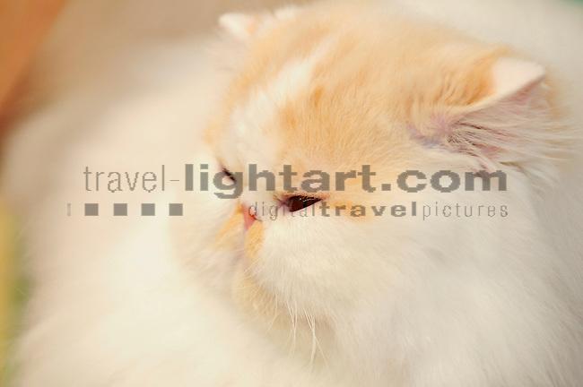 ©Paul Trummer, Mauren / FL, www.travel-lightart.com, www.digital-photos.eu, animal, animalia, animals, cat, catkins, cats, domestic cat, domestic cats, felis catus, living being, mammal, mammals, pet cat, pet cats, predator, predators, vertebrate, vertebrates, warm blooded animals, warm blooded-animal, Fauna, Felis, Fissipedia, Hauskatze, Hauskatzen, Kater, Landraubtier, Landraubtiere, Lebewesen, Mammalia, Rassekatze, Säuger, Säugetier, Säugetiere, Tierbild, Tierbilder, Vertebrata, Warmblüter, Wirbeltier, Wirbeltiere, Haustier, Haustiere, Domestic Animals, Perser, Perser Katze, Persian cat