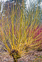 Acer negundo Winter Lightning in yellow winter stems