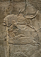 Assyrian relief sculpture panel from the  lion hunt showing a dying lion.  From Nineveh  North Palace, Iraq,  668-627 B.C.  British Museum Assyrian  Archaeological exhibit no ME 124863-4