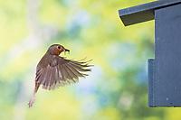 Rotkehlchen, am Nistkasten, Halbhöhle, Halbhöhlenkasten, fliegend, Flug, Flugbild, Erithacus rubecula, robin, European robin, robin redbreast, flight, flying, Le Rouge-gorge familier