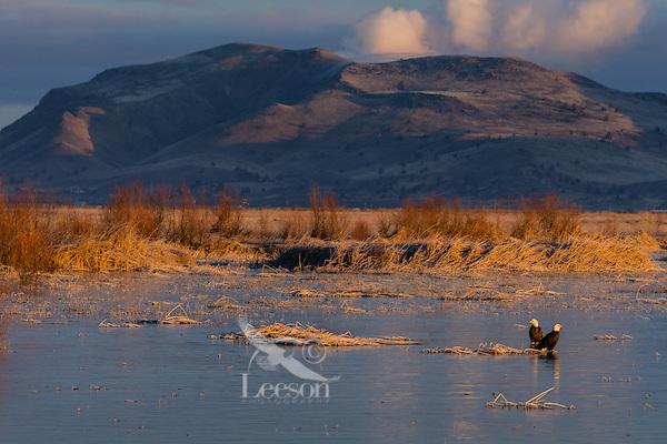Bald Eagles (Haliaeetus leucocephalus) sitting on frozen wetland marsh at Klamath Basin National Wildlife Refuge (Lower Klamath NWR) on the Oregon-California Border.  February. Early morning.