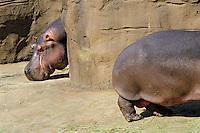 Common Hippopotamus (Hippopotamus amphibius) .(Oregon Zoo, Portland Oregon)