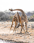 Giraffes look like they're performing a dance routine as they tussle by Jenny Stevens