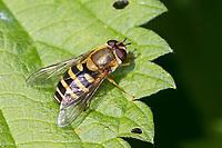 Gemeine Schwebfliege, Grosse Schwebfliege, Große Schwebfliege, Garten-Schwebfliege, Gartenschwebfliege, Weibchen, Syrphus ribesii, currant hoverfly, currant hover fly, female, Le syrphe du groseillier