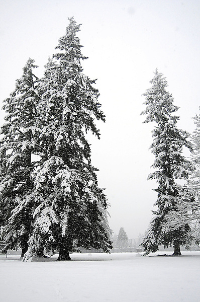 Dancing Winter Pine and Christmas Snow