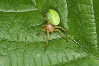Kürbis-Spinne, Kürbisspinne, Araniella cucurbitina, Araneus cucurbitinus, gourd spider, pumpkin spider