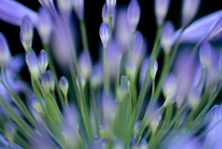 close-up of blue agapanthus flowers