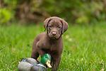 Chocolate Labrador retriever puppy and a mallard duck decoy.