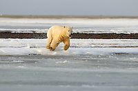 This cub is running straight for the icy water. Every fall, polar bears gather near the community of Kaktovik, Alaska, on the northern edge of ANWR, waiting for the Arctic Ocean to freeze. The bears have become a symbol of global warming.