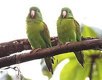 Pair of orange-chinned parakeets