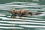 A sea otter carries her baby as she floats on her back in the Pacific Ocean in Katmai National Park, Alaska.