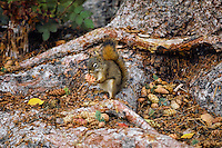 Red Squirrel stops to eat a cone it has collected while sitting among one of its winter cone caches.  Northern Rockies.  Fall.
