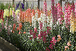 ANTIRRHINUM MAJUS CHANTILLY MIX, SNAPDRAGONS IN GREENHOUSE DISPLAY BED